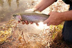 Hat Creek Trout